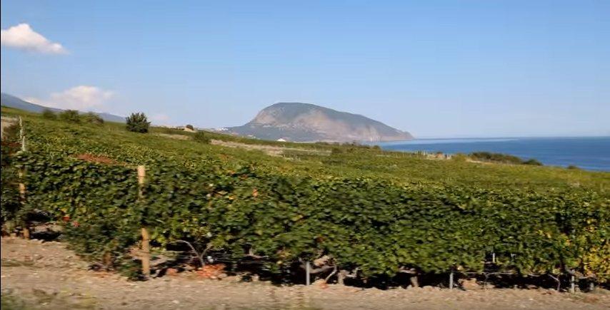 виноградники алекперова (1)