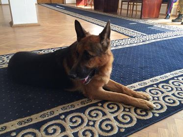 Служебная собака Арчи